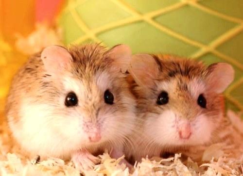 Cómo es la convivencia entre hamsters