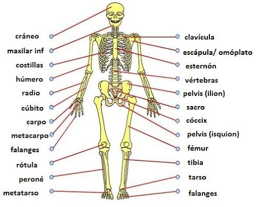 Cuántos huesos tiene el cuerpo humano