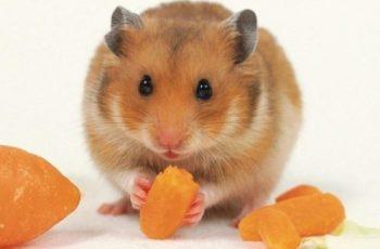 Cuáles son los habitos de los hamsters