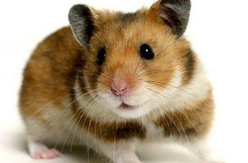 Cómo saber cuántos años tiene un hamster