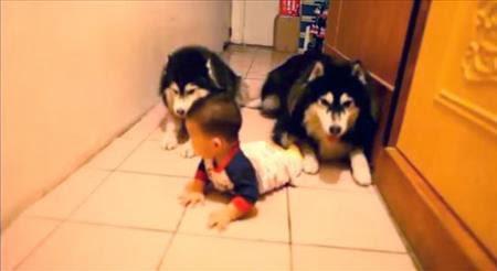 Video de perros que imitan a un bebé que gatea se vuelve viral