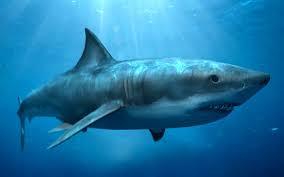 Por qué los tiburones no pueden dormir